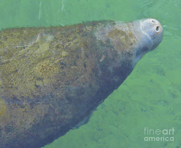 Manatee Poster featuring the photograph Taking A Breath by D Hackett
