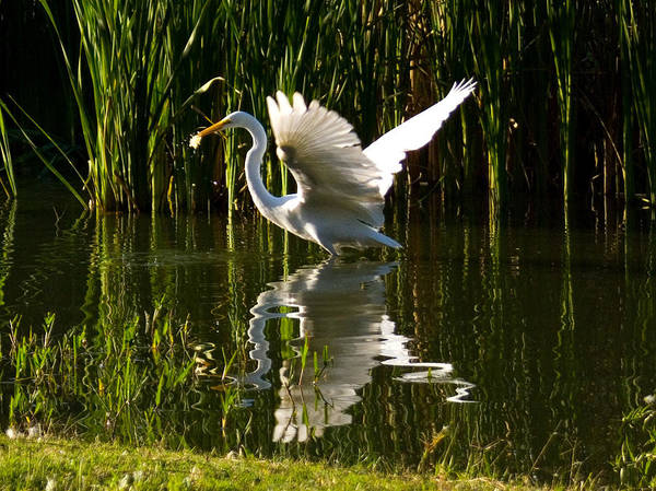 Egret Poster featuring the photograph Taking Off by Sarah Le Feber