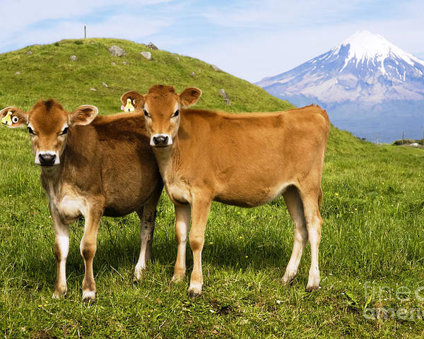 Adorable Poster featuring the photograph Taranaki, Dairy Cows by Himani - Printscapes