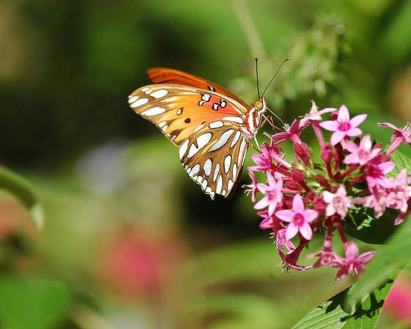 Butterflies Poster featuring the photograph Tasty Visit by Robert Anschutz