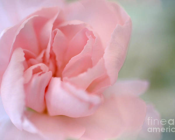 Pink Carnation Poster featuring the photograph Tears Of Love by Deb Halloran
