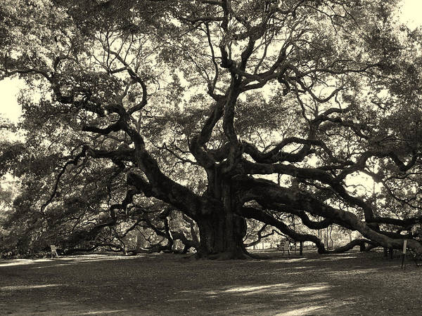 Angel Oak Poster featuring the photograph The Angel Oak by Susanne Van Hulst
