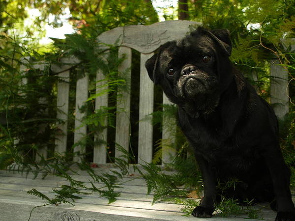 Furtograph Poster featuring the photograph The Black Pug Marley by Kareem Farooq