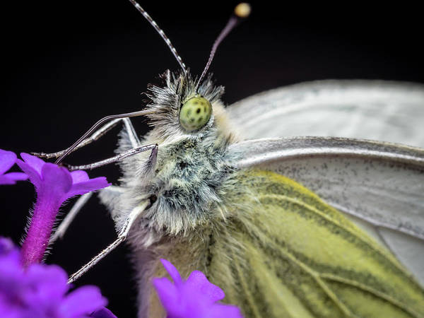 Green Poster featuring the photograph The Eye Of The Green-veined Butterfly. by Colin Allen