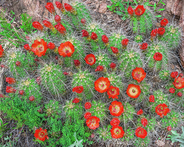 Claret Cup Cacti Poster featuring the photograph The First Week Of May, Claret Cup Cacti Begin To Bloom Throughout The Colorado Rockies. by Bijan Pirnia