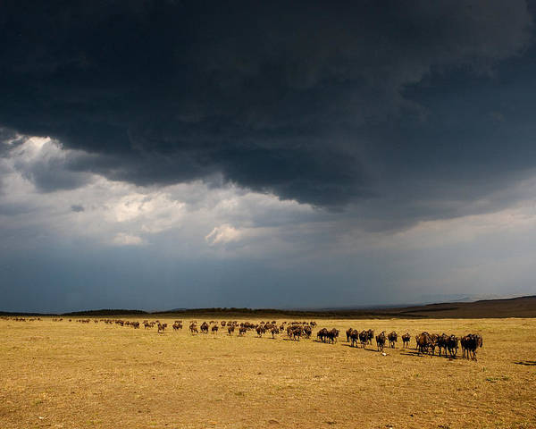 Masai Mara Poster featuring the photograph The Great Migration by Paco Feria