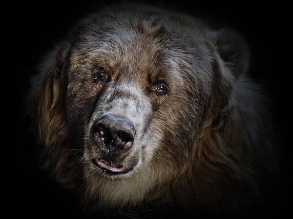 Kodiak Bear Poster featuring the photograph The Kodiak Bear by Animus Photography