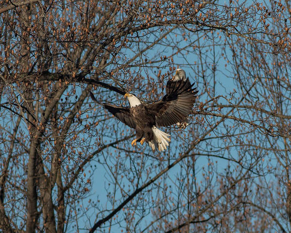 Bald Eagle Poster featuring the photograph The Landing by Rodney Ervin