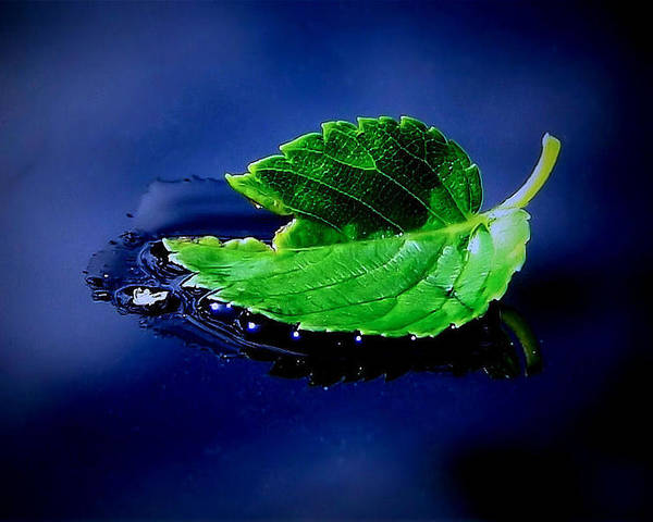 Leaf Poster featuring the photograph The Leaf by Karen Scovill