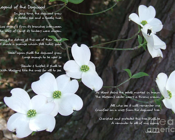 Dogwood Poster featuring the photograph The Legend Of The Dogwood by Andrea Anderegg