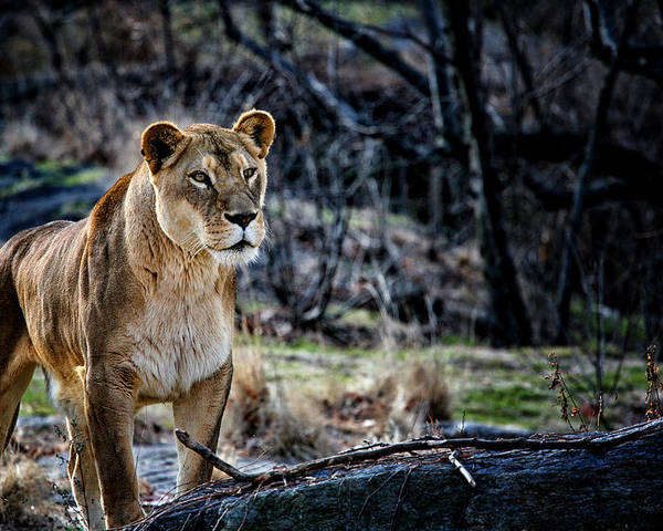 Lion.lioness Poster featuring the photograph The Lioness by Karol Livote