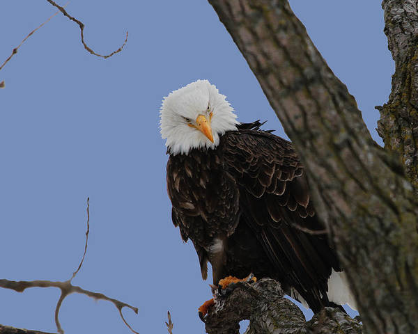 Eagle Poster featuring the photograph The Look by Dave Clark