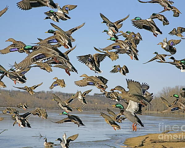 Ducks Poster featuring the photograph The Mad Rush by Robert Pearson