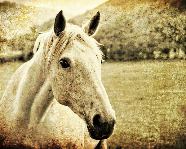 Horse Poster featuring the photograph The Old Grey Mare by Meirion Matthias