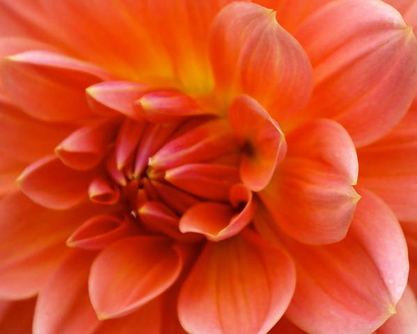 Floral Poster featuring the photograph The Opening Of A Dahlia by Sonja Anderson