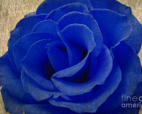 Blue Poster featuring the photograph The Rose Of Sadness by Jeff Kolker
