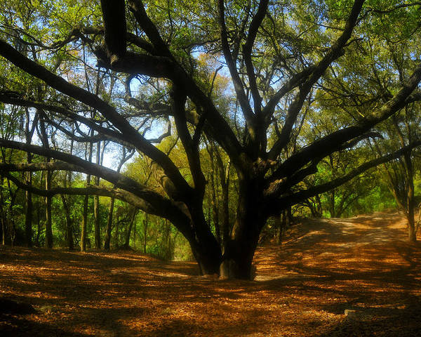 Live Oak Tree Poster featuring the photograph The Sacred Oak by David Lee Thompson