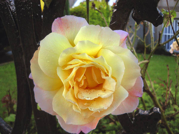Yellow And Pink Rose With Rain Drops Poster featuring the photograph The Sun After The Rain by Shannon Ireland