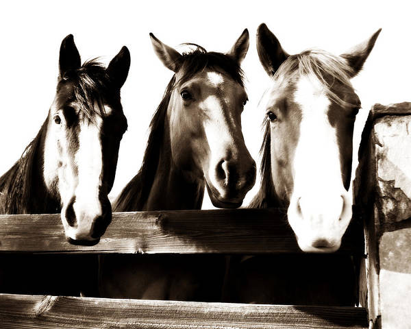 Horse Poster featuring the photograph The Three Amigos In Sepia by Steve Shockley