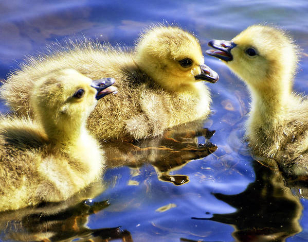 Goslings Poster featuring the photograph The Three Tenors by Vicki Jauron