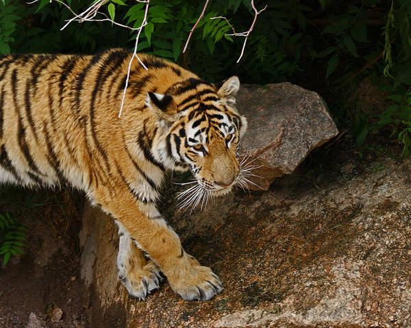 Tiger Poster featuring the photograph The Tiger by Ernie Echols