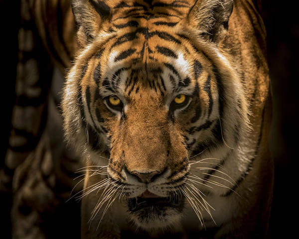 Tiger Poster featuring the photograph The Savage Found Me by Francisco Gomez
