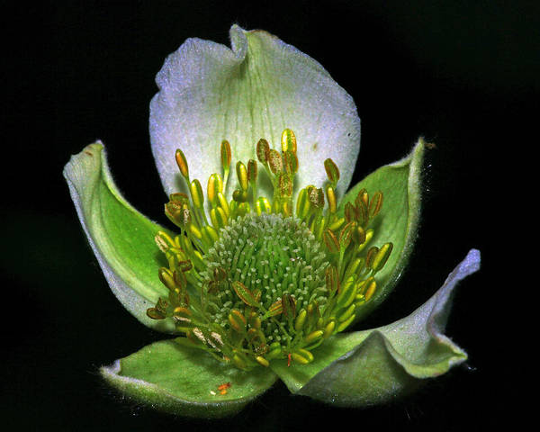 Wildflowers Poster featuring the photograph Thimbleweed Anemone Virginiana by Ron Kruger
