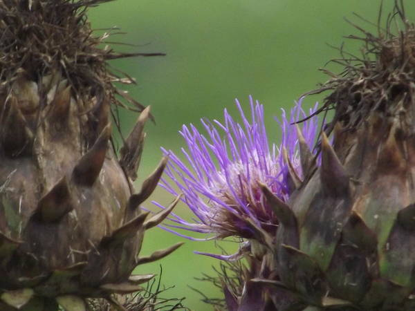 Flowering Plant Poster featuring the photograph Thistle In Hiding by Belinda Stucki