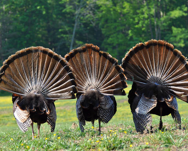 Turkey Poster featuring the photograph Three Fans by Todd Hostetter
