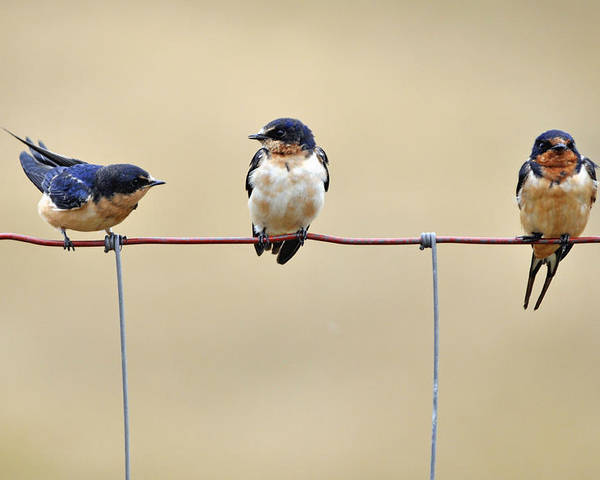 Green Swallow Poster featuring the photograph Three Young Swallows by Laura Mountainspring