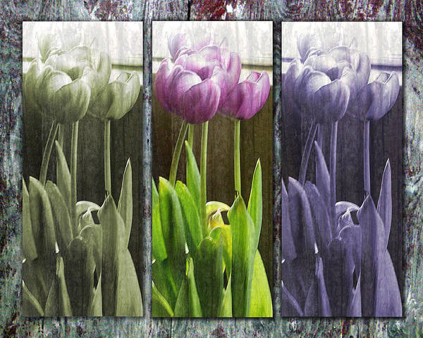 Tulips Poster featuring the photograph Threelips by Tom Romeo