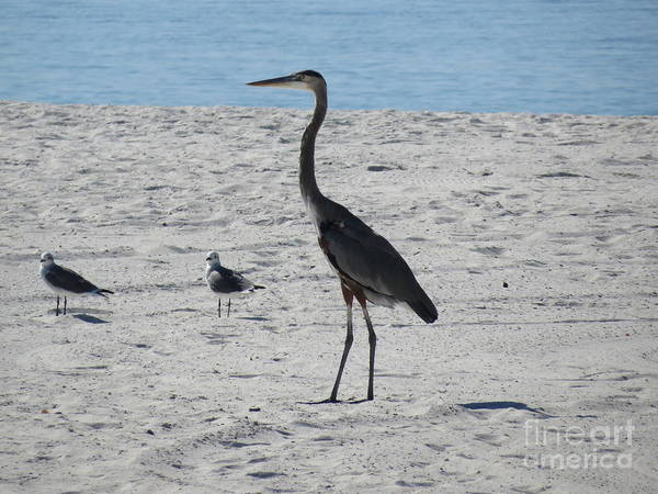 Great Blue Heron Poster featuring the photograph Three's A Crowd by Charles Green