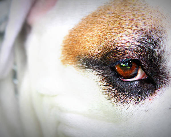 Dog Poster featuring the photograph Through The Eyes... by Trisha Scrivner