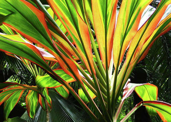 Ti Plant Poster featuring the photograph Ti Stripes by Kerri Ligatich