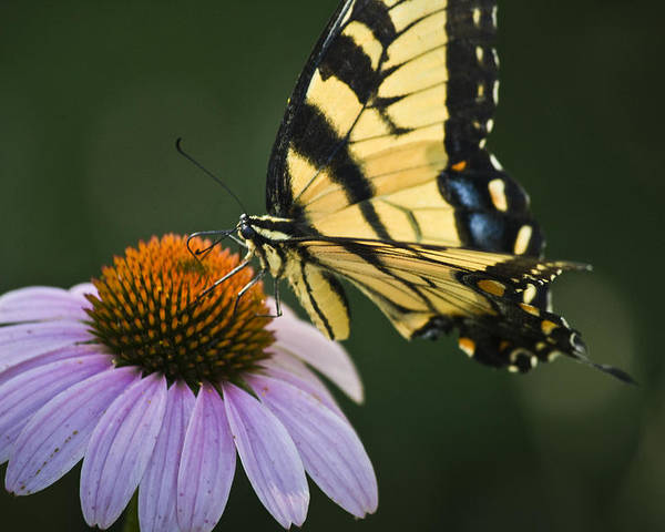 Garden Poster featuring the photograph Tiger Swallowtail 2 by Teresa Mucha