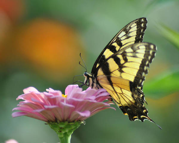 Tiger Swallowtail Poster featuring the photograph Tiger Swallowtail Butterfly by Bill Cannon