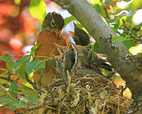 American Robin Poster featuring the photograph Time For Your Fruits by Donna Kennedy