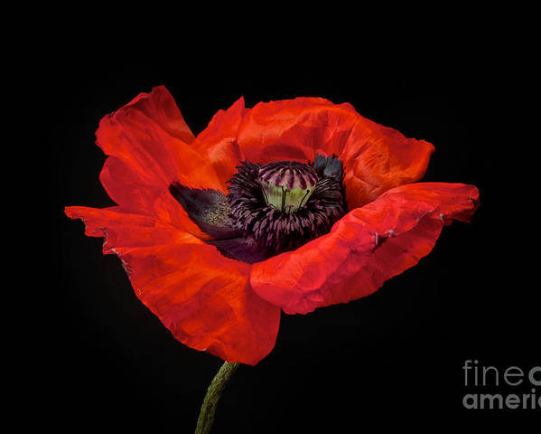 Red Oriental Poppy Poster featuring the photograph Tiny Dancer Poppy by Toni Chanelle Paisley