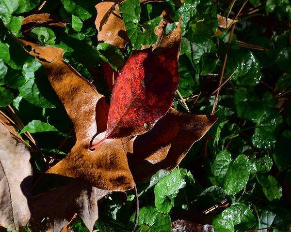 Leaves Poster featuring the photograph Todays Art 198 by Lawrence Hess