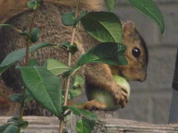 Squirrel Poster featuring the photograph Tomato Thief by Belinda Stucki