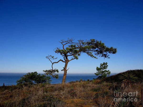 Torrey Pines Poster featuring the photograph Torrey Pines Tree by PJ Cloud