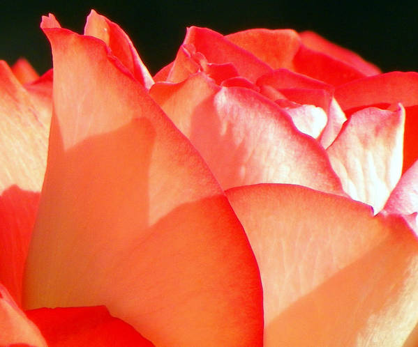Flowers Poster featuring the photograph Touch Of Rose by Karen Wiles