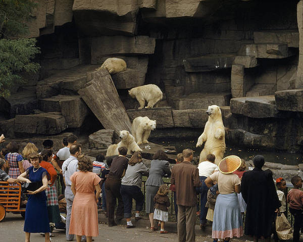 Color Image Poster featuring the photograph Tourists Watch Captive Polar Bears by B. Anthony Stewart