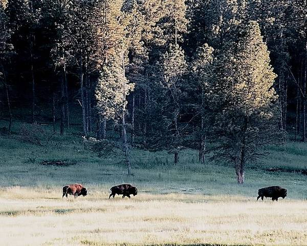 Animals Poster featuring the photograph Trail Of Bulls by Jan Amiss Photography