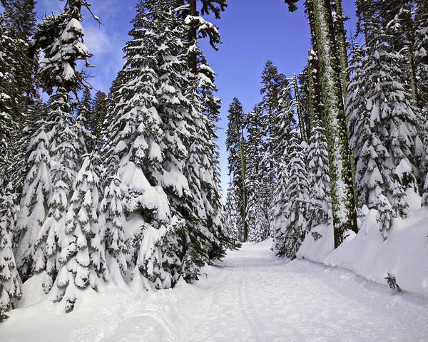 Snow Poster featuring the photograph Trail Through Trees by Garry Gay