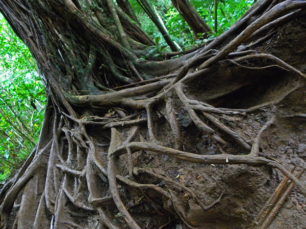 Hawaii Poster featuring the photograph Tree From Manoa Falls by Elizabeth Hoskinson