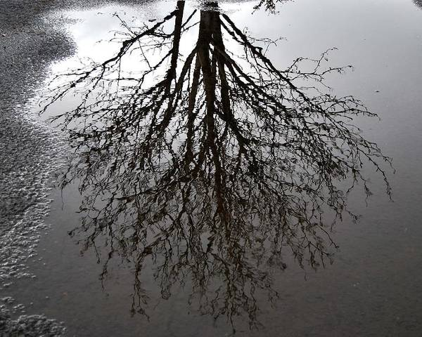 Reflection Poster featuring the photograph Tree In A Puddle by Marilynne Bull