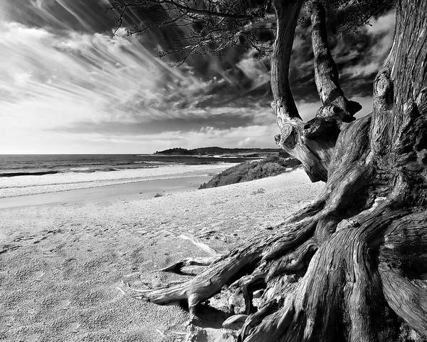 Carmel Beach Tree Roots Sandy Monterey Peninsula California Coastline Pacific Ocean Usa Black And Wh Poster featuring the photograph Tree Roots Carmel Beach by George Oze