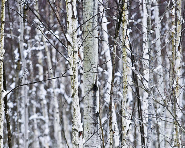 Winter Poster featuring the photograph Tree Trunks Covered With Snow In Winter by Elena Elisseeva