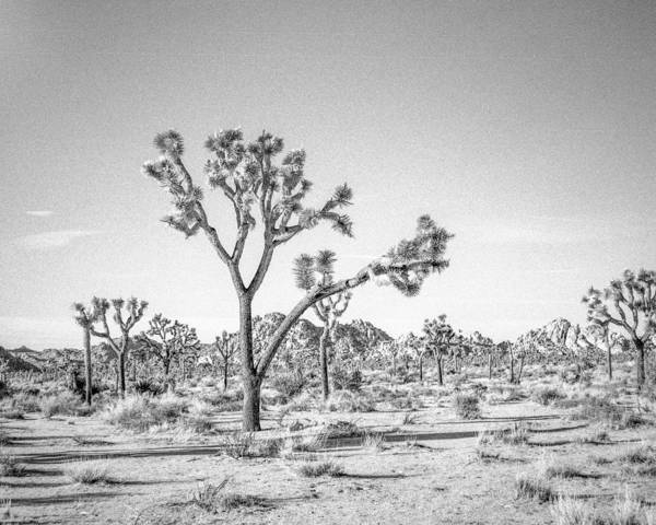 Joshua Tree Poster featuring the photograph Tree Valley by Alex Snay